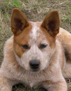 Australian Cattle Dog / Blue Heeler puppies for sale in the UK.