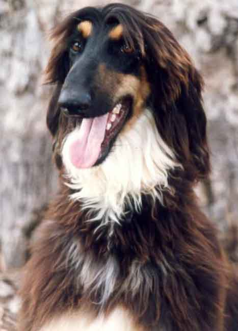 Afghan Hound | retriever trainer