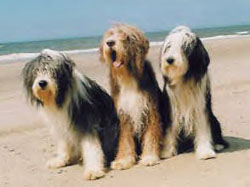 Bearded Collie puppies are for sale in Australia with pups 4 sale ...