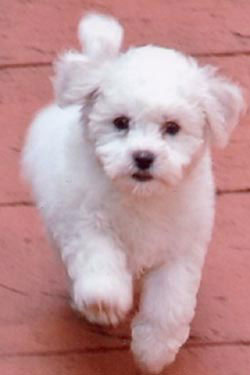 Bichon Frise Puppies on Bichon Frise Puppies For Sale  Bichon Frise Puppies For Sale By Bichon