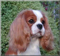Cavalier King Charles Spaniel puppies for sale UK.