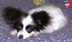 Papillon puppies for sale UK