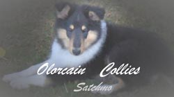 Collie (Rough & Smooth Coat) puppies are for sale in Australia with pups for sale puppy classifieds. Buy or sell your Australian Collie (Rough & Smooth Coat) puppies here!