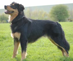 English Shepherd puppies for sale