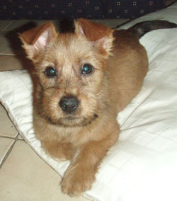 Australian Terrier Puppies