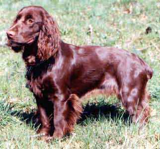 Field Spaniel puppies for sale UK.