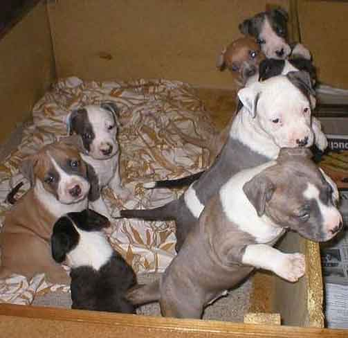 American Staffordshire Terrier puppies for sale in the UK.