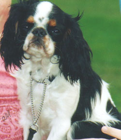 King Charles Spaniel puppies for sale UK.