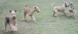 Lakeland Terrier puppies for sale UK.