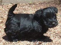 Scottish Terrier puppies are for sale in Australia with pups for sale puppy classifieds. Buy or sell your Australian Scottish Terrier puppies here!